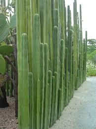 Pachycereus Marginatus World Of Succulents Fence Plants Desert Landscaping Desert Garden