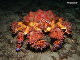 The Puget Sound King Crab is a species ...