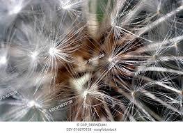 feeding dandelion seed stock photos and