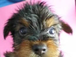 tiny toy yorkie puppies first bath
