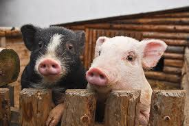 Two Pigs Photograph by Vaclav Mach