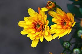 hd wallpaper krizantén yellow flower