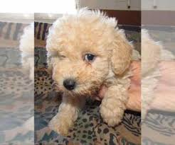 poodle toy puppies near