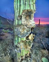 saguaros revisited review tucson weekly