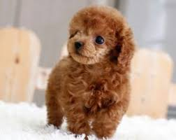 three reasons to pick up a poodle puppy