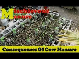 cow manure in the backyard garden