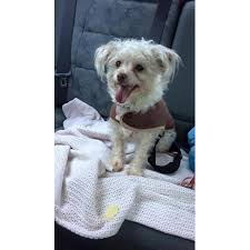whitney chihuahua x toy poodle