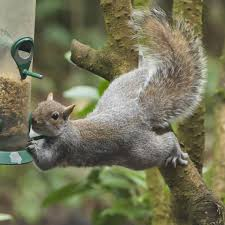 Country Diary Squirrel Antics Brighten Up The Bleak Wintry Days Environment The Guardian