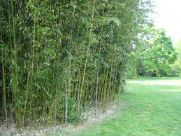 Bamboo Fencing Bamboo Plants Online