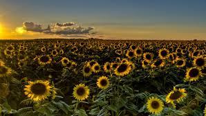 field sunflowers sunflower wallpaper