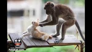 أجمل الصور المضحكة قرد يغتصب قطة Youtube