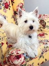 Pin by Heather D'Angelo on pets | West terrier, Westie terrier, Silly dogs