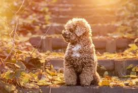 toy poodle a plete guide to the