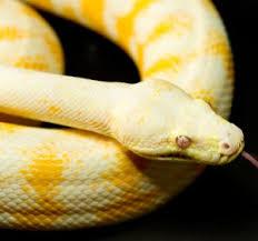 carpet python pythons review