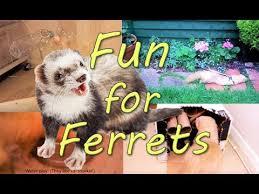ferret enrichment 12 easy fun