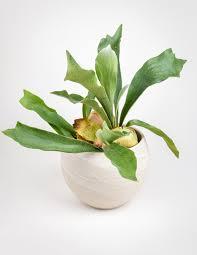 Platycerium Bifurcatum - Shop Staghorn Ferns - Pistils Nursery