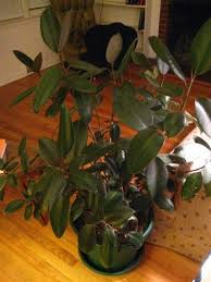 rubber plant losing leaves why do