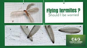 Get Flying Termites  Images