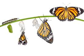 How does a caterpillar turn into a butterfly? - Discover Wildlife