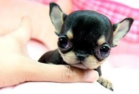 teacup hunde klein kleiner