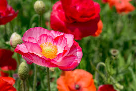 planting poppies how to grow poppies