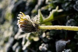 dingin dandelion embun beku beku