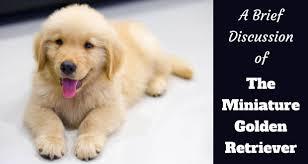 miniature poodle mix puppies
