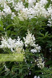 GAP Gardens - Syringa x josiflexa 'Agnes Smith' - Image No: 0449460 - Photo  by Jan Smith