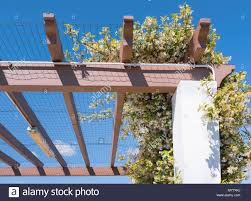 Jasmine Plant In Full Bloom With White Flowers Growing Creeping Over The Mesh Of A Car Port Pergola To Provide Shade From The Sun In Spain Stock Photo Alamy