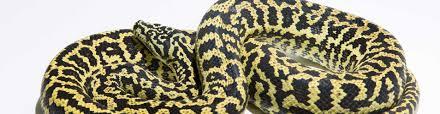 zebra carpet pythons morelia spilota