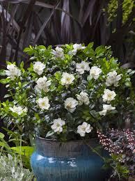jubilation gardenia order with