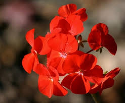 red flower images free stock photos