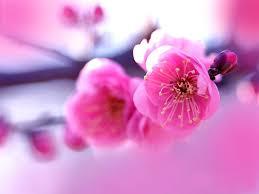 pink flowers hd wallpaper 7001743