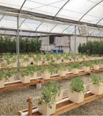 hydroponic versus soil growing which