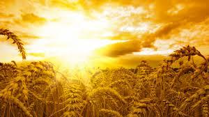 4k wallpaper wheat sun sky yellow