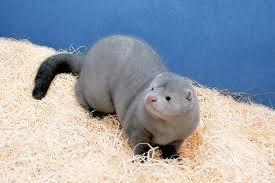 Silver blue mink | Mink animal, Monkeys funny, Cute animals
