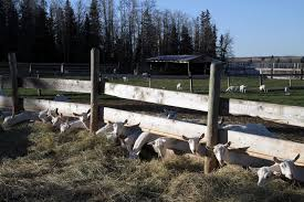 Fenceline Hay Feeder The Goat Spot Your Goat Raising Owning Headquarters