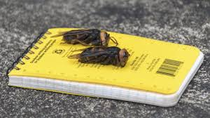 Murder Hornets,' with sting that can ...