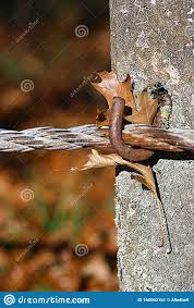 Autumn Leaf Caught Between A Concrete Fence Post And Barbed Wire Stock Image Image Of Fence Crisp 160063161