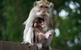 monkey wallpapers free