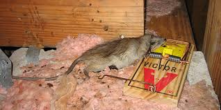 how to get rid of rats the 5 steps