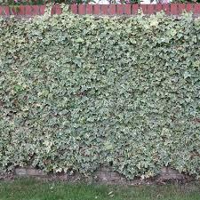 Buy English Ivy Common Ivy Hedera Helix Glacier 17 99 Delivery By Crocus