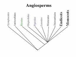 basal angios