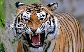 The Champawat Tiger – Dark Tales