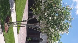 Crepe Myrtle - White bloom - Universal Landscape, Inc.