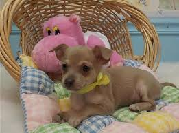 teacup chihuahua puppies in