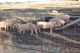 Proof Pasture Raised On Open Fields Fencing For Free Range Pigs