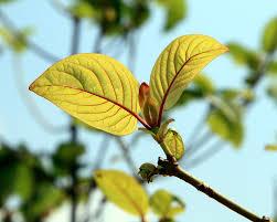 Should Kratom be banned?   Dogwood School of Botanical Medicine
