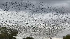 Bats turn north-west Queensland sky black as drought raises numbers earlier  - ABC News