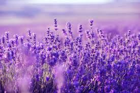 lavender desktop wallpapers top free